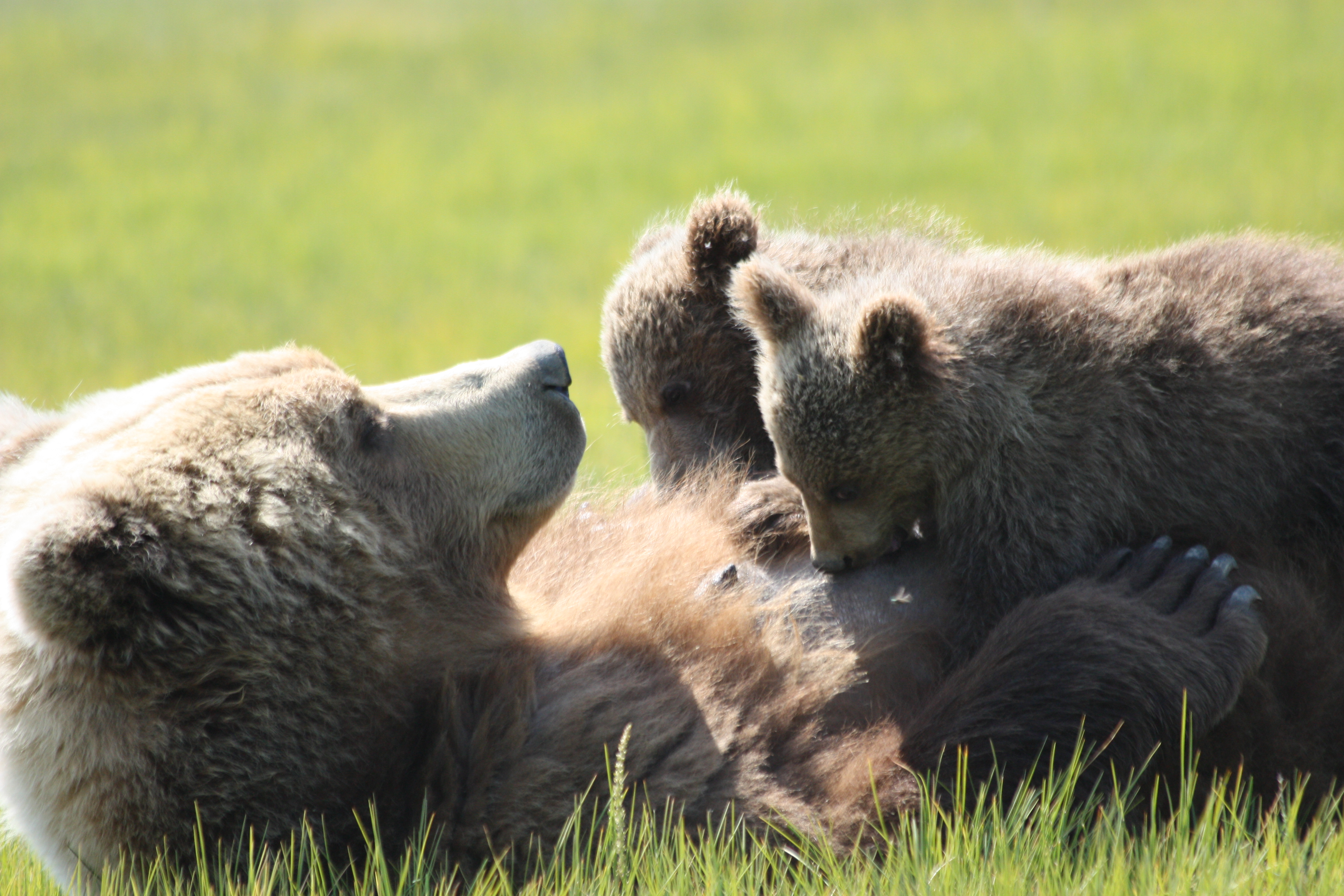 Bear Viewing